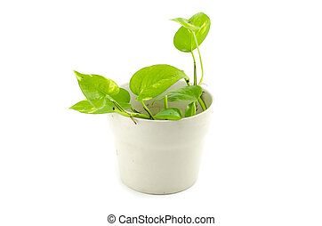 potted green house plant in light brown pot, isolated on white background