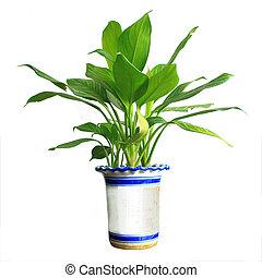 potted - Home plant in flowerpot. Isolate on white.