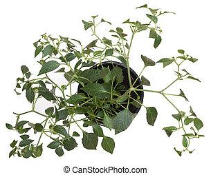 Potted hot pepper jalapeno plant gr