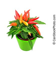 Potted mix chili plant