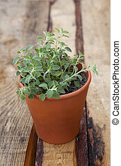 Potted Origano - Young origano plant in a terracotta pot.