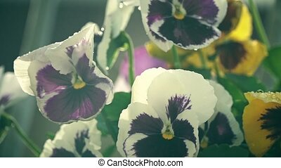 Potted pansy flowers in the summer rain slow motion shot -...