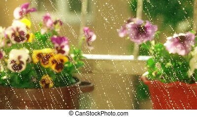 Potted petunia and pansy flowers in the summer rain. 4K...