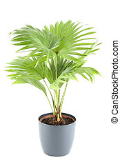 Potted Plant - Close-up of the plant in a pot. Livistona....