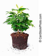 Potted plant removed from its pot and showing the root structure isolated on white