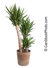 potted, planta yucca