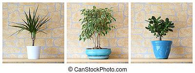Details of three potted plants, dracaena marginata, ficus benjamina, crassula ovata