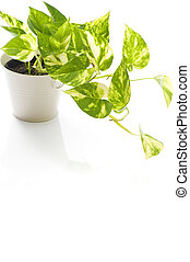 potted pothos of houseplant