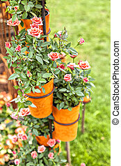 Potted roses - Image of potted roses in the garden