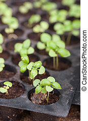Potted seedlings growing in pots.