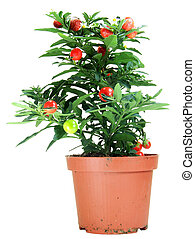 Potted Solanum Capsicastrum - Potted Solanum Capsicastrum...