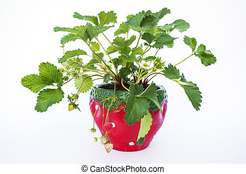 Potted strawberries isolated on white