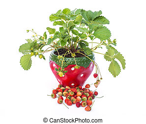 Potted strawberries