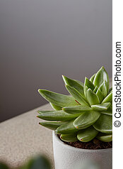 Potted succulent house plant on white shelf against gray ...