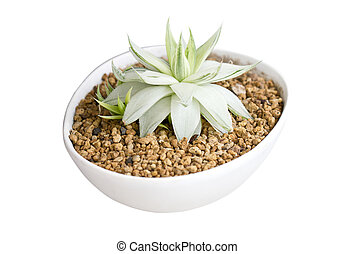 Potted Succulent isolated on white.
