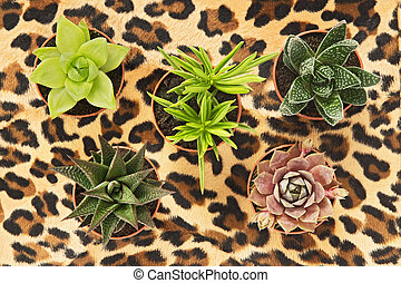 Potted succulent plants on leopard background
