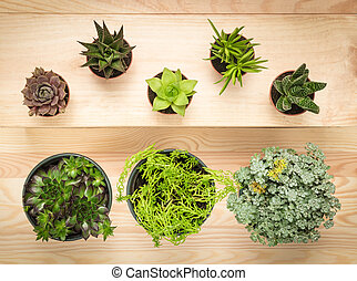 Potted succulent plants on wooden background