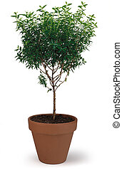 Potted Tree - A potted tree on white
