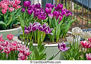{Potted Tulips - Bright tulips in pots.