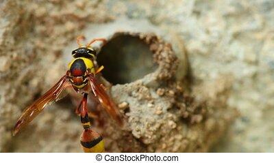 Potter Wasp Building Mud Nest Close Up Detail HD - Potter...