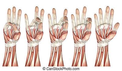pouce, figure, monde médical, toucher, doigt, chaque, ...