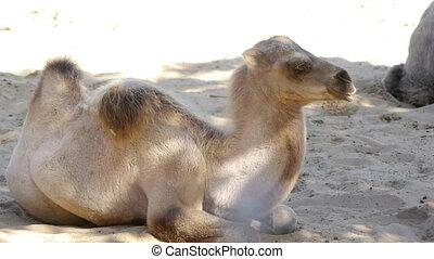 poulain, camel.