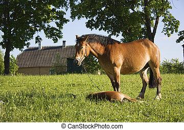 poulain, cheval, pré