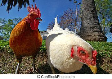 poule, coq