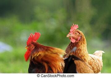 poule, et, coq, couple