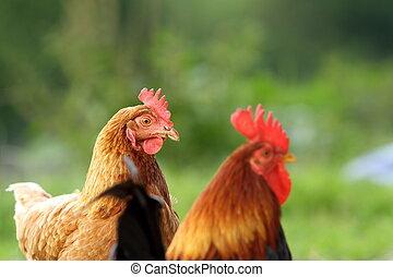 poule, et, coq, sur, arrière-plan vert