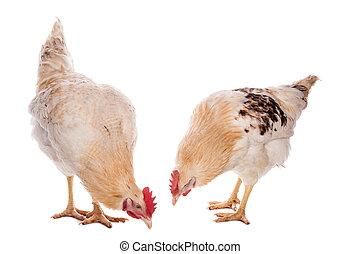 poulet, coq