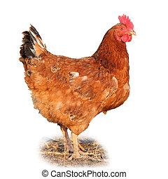 poulet,  -, isolé