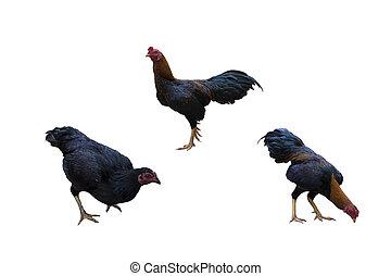 poulet, manger, isolé, blanc, fond