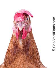 poulet, poule