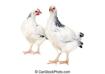 poulets, blanc, fond