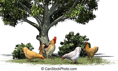 poulets, coq