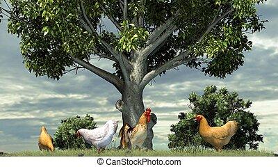 poulets, et, coq