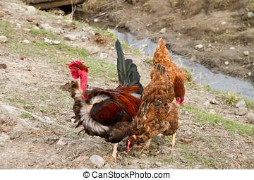 poulets, gratuite