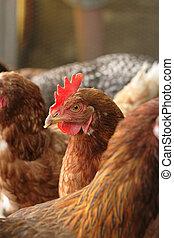 poulets, rouges