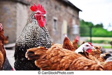 poulets, sur, traditionnel, gamme libre, volaille, ferme