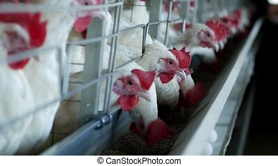 Poultry farm for breeding chickens and eggs, chickens...