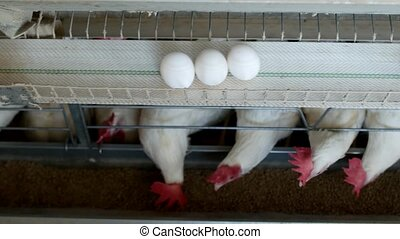 Poultry farm for breeding chickens, chicken eggs go through...