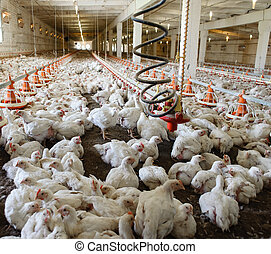 Poultry farm (aviary) full of white chickens