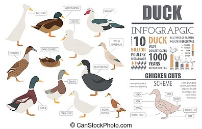 Poultry farming infographic template. Duck breeding. Flat...