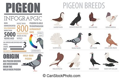 Poultry farming infographic template. Pigeon breeding. Flat...