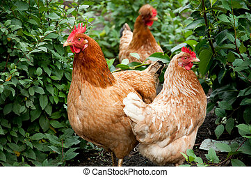 Poultry in the poultry yard