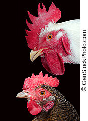 Meat and eggs of the hen are an irreplaceable dietary food stuffs