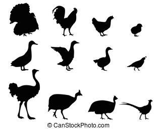 Poultry. Vector Illustration.