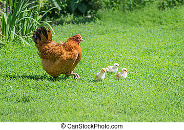 Poultry yard - Ginger hen walks with young chickens on green...