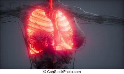 poumons, humain, radiologie, examen